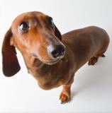 Dachshund dog breed. On a white background Stock Photos