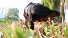 Dachshund dog breed gnaws large branch outdoors.  stock footage