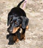 Dachshund dog Royalty Free Stock Photography