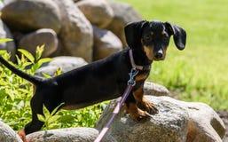 Dachshund dog Stock Photos