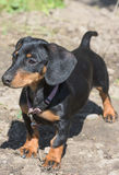 Dachshund dog Royalty Free Stock Photos