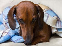 Dachshund dog breed under the checkered blanket Royalty Free Stock Images