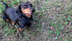 Dachshund dog breed wags its tail on the grass and asks feed. Dachshund dog breed wags its tail on the grass stock footage