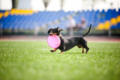 Dachshund dog brings the flying disc. Funny dachshund dog brings the flying disc in jump Stock Photography