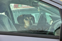 Dachshund dog in car waiting Royalty Free Stock Photos