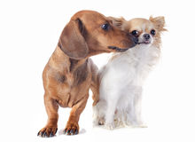 Dachshund dog and chihuahua Royalty Free Stock Images