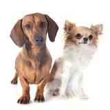 Dachshund dog and chihuahua Stock Photography