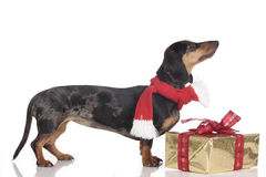 Dachshund dog on christmas isolated Stock Photo