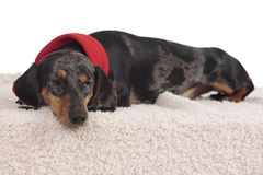 Dachshund dog on christmas isolated Stock Images