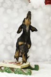 Dachshund dog Christmas Royalty Free Stock Images