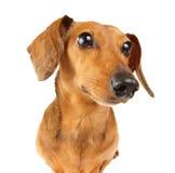 Dachshund dog close up Stock Photography