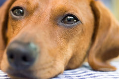 Dachshund dog closeup. A Miniature Dachshund Face which fills the entire frame, tightly focused on the eyes Stock Images