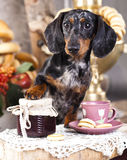 Dachshund dog and cup tea Stock Images