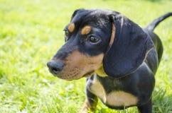 Dachshund Dog. Cute Dachshund dog portrait outdoors stock photos
