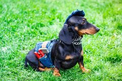 Dachshund dog. Cute puppy on grass. Charming black Dachshund dog denim clothing like a worker with pliers in the pocket. Selective focus. Dachshunds fashion stock photography