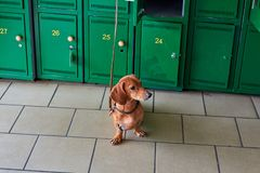 Dachshund dog. The dog is waiting for the owners in the store. Puppy dachshund expects its owners. The little dog is tied. Dachshund dog. The dog is waiting for stock image