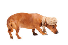 Dachshund dog dressed into hat and scarf Royalty Free Stock Photos