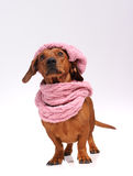Dachshund dog dressed into hat and scarf Royalty Free Stock Image