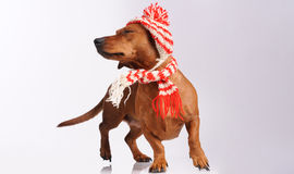 Dachshund dog dressed into hat and scarf Stock Photo
