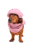 Dachshund dog dressed into hat and scarf Royalty Free Stock Photo