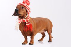 Dachshund dog dressed into hat and scarf Royalty Free Stock Images