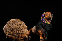 Dachshund dog dressed into scarf Stock Photography