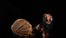 Dachshund dog dressed into scarf Royalty Free Stock Images