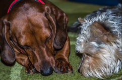 Dachshund Dog eating his food with his friend charming shaggy dog Royalty Free Stock Photography