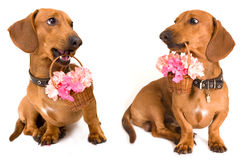 dachshund dog and flowers Royalty Free Stock Images
