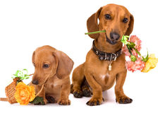 Dachshund dog and flowers Stock Photography