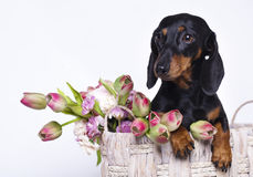 Dachshund dog. And flowers tulips Royalty Free Stock Images