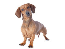 Dachshund dog. In front of white background stock photo