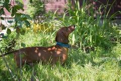 Dachshund Dog Garden royalty free stock photo