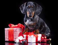 Dachshund dog and gifts Stock Images