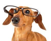 Dachshund dog with glasses close up. Isolated on white background Royalty Free Stock Image