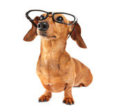Dachshund dog with glasses Royalty Free Stock Image
