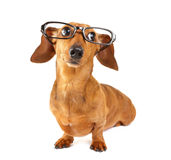 Dachshund dog with glasses. Over the white background Royalty Free Stock Image