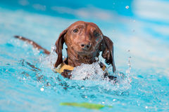 Dachshund Dog Grabbing Toy in the Water. A Dachshund dog wearing a life preserver tries to grab a toy in the water at a dock jumping competition Stock Images