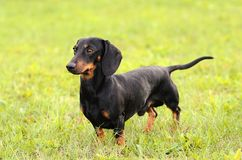 Dachshund dog on grass Stock Images