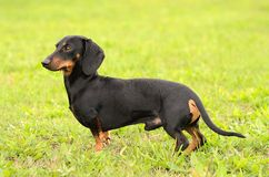 Dachshund dog on grass Stock Photo