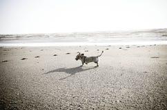 Dachshund dog Happy Time. Dachshund dog running on the beach Stock Images