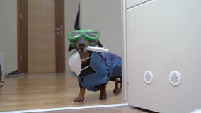 Dachshund dog in a hazmat suit, is running with syringe with vaccine