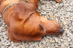 Dachshund dog head Stock Images