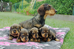 Dachshund. Dog.Hunting female dog with puppies.lactating female dog Royalty Free Stock Photography