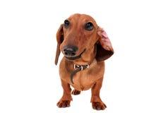 Dachshund Dog Isolated On White Stock Images