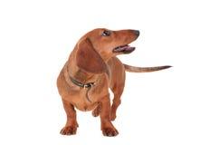 Dachshund Dog Isolated On White Stock Image