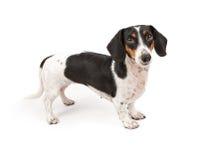 Dachshund Dog Isolated on White Royalty Free Stock Photography