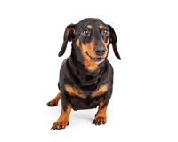 Dachshund Dog Isolated on White Royalty Free Stock Photo