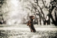 Dachshund dog jumps up in field in forest stock photos