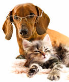 Dachshund dog and kitten. Friends dachshund dog and kitten resting together royalty free stock photo